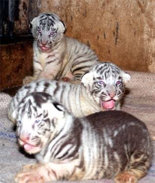 Un tigreau blanc devient noir !! Large_70195