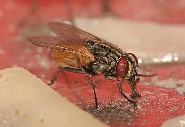 சிவகங்கை நகராட்சி, ஈக்கள் தொல்லை, சுந்தரநடப்பு, துவங்கால், மணக்கரை, கிராமங்கள், ஊரைக் காலி செய்ய கிராம மக்கள் முடிவு ,  Sivagangai municipality, Flies trouble, Sundaranadapu, Thuvangal, Mankarai, villages, Villagers decide to vacate the native place ,