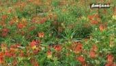 பனியால் கருகும் கண்வலி பூக்கள்