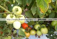 இஸ்ரேல் தொழில்நுட்பத்தால் 150 கிராமில் ஒரு தக்காளி