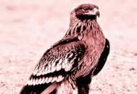 பறவைகள் கணக்கெடுப்பில் இடம் பெற்ற பாக்., கழுகு