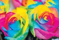 காதலர் தினத்திற்காக 'ரெயின்போ' ரோஜா : பிரையன்ட் பூங்காவில் ஏற்பாடு