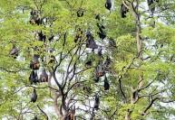 பட்டாசு ஒலிக்காத அதிசய கிராமம்:மரங்களில் வவ்வால்கள் வாசம்