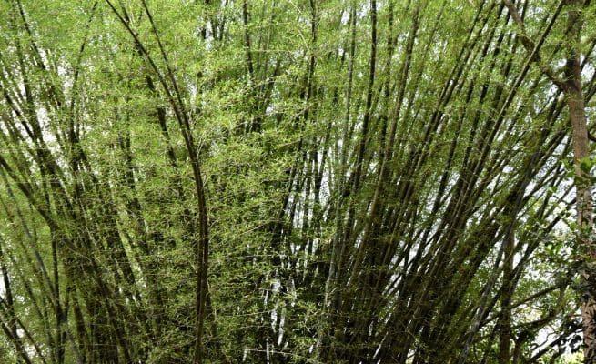 மூங்கில் மரம்– சிறுமலை