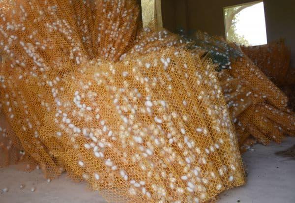 கூடுக்கு கூடுது மவுசு! இரு மாதமாக உயர்ந்து காணப்படும் பட்டுக்கூடு