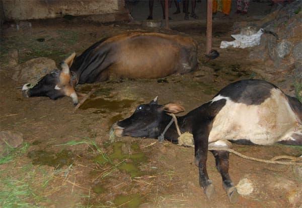 மின்சாரம் தாக்கி விவசாயி, 2 மாடுகள் பலி
