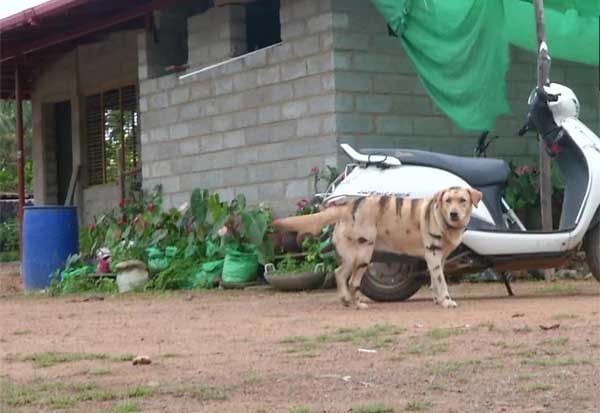 கர்நாடகா, விவசாயிகள், புலி, நாய், குரங்கு, Farmers, Karnataka,  Start, Dogs, Tigers