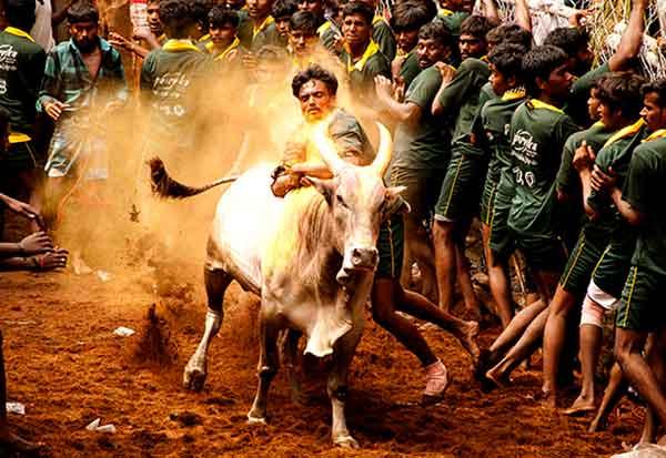 துள்ளிக்கிட்டு வருது ஜல்லிக்கட்டு காளை | Dinamalar Tamil News