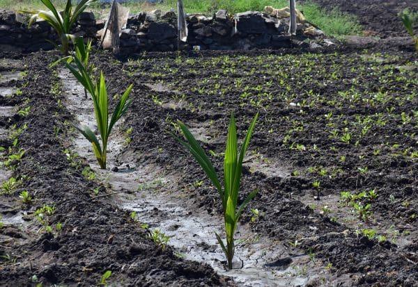 தென்னை சாகுபடிக்கு மீண்டும் ஆர்வம்: நிலத்தடி நீர் மட்டம் உயர்வால் நம்பிக்கை