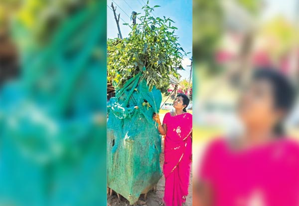 6 அடி உயர தக்காளி, 'மரம்' Tamil_News_large_246841020200129040203