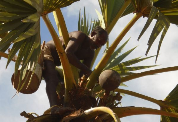 பனை பொருட்கள் உற்பத்தி அதிகரிப்பு; பனைத்தொழிலாளர்களை மீட்க நடவடிக்கை தேவை