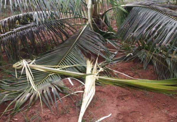 யானை நடமாட்டம் அதிகரிப்பு :தென்னைகள் சேதத்தால் கவலை