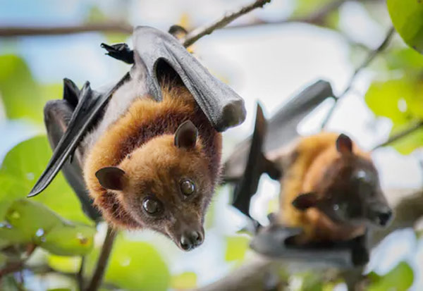 Bats, China, வவ்வால், சீனா, உத்தரவு, Pangolins, China, highest level of protection, coronavirus, first-class protected animals, endangered species, Pangolin meat,  Chinese medicines,  snake, bat, COVID-19, intermediate host of covid-19