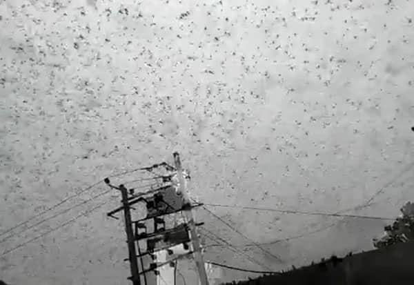வயல்வெளிகள், வெட்டுக்கிளிகள், வடமாநிலங்கள்,  டில்லி, gurgoan,  locusts invasion, Delhi-NCR, high alert, Rajasthan border, adult locusts, UN's Food and Agriculture Organisation, FAO, eastern Africa, Iran, Pakistan, India