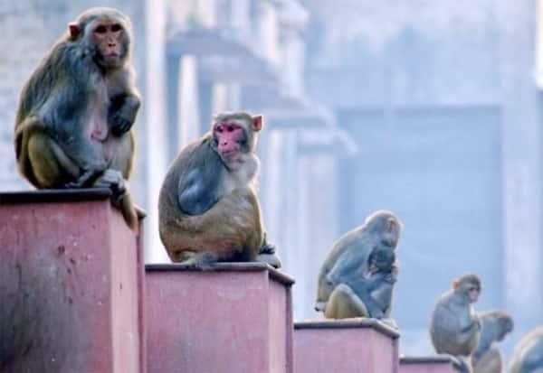 நாளை அயோத்தியில் உள்ள குரங்குகளுக்கு அரசு சார்பில் சிறப்பு உணவு