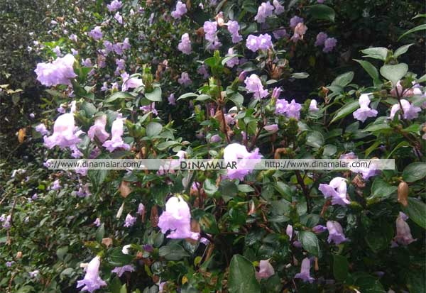 கூடலூரில் பூத்து குலுங்கும் குறிச்சி மலர்கள்