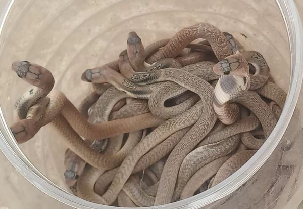 பாகூரில் வீட்டின் தோட்டத்தில்  23 நாக பாம்பு குட்டிகள் பிடிபட்டன