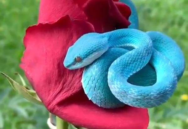 Blue Snake,Dangerous,Viral Video,Beautiful