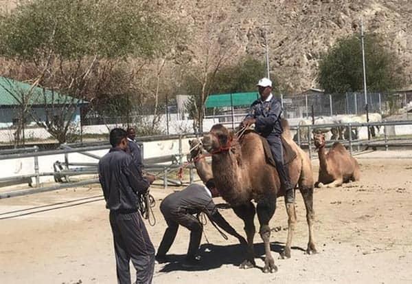 Double_hump_camel, induct,  IndianArmy, patrol, India,China,