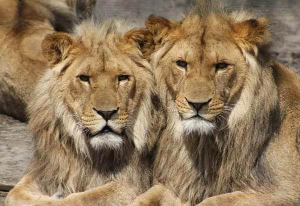 HyderabadZoo, Lions, TestPositive, Covid, India, சிங்கங்கள், கொரோனா, தொற்று, பாதிப்பு, ஐதராபாத்