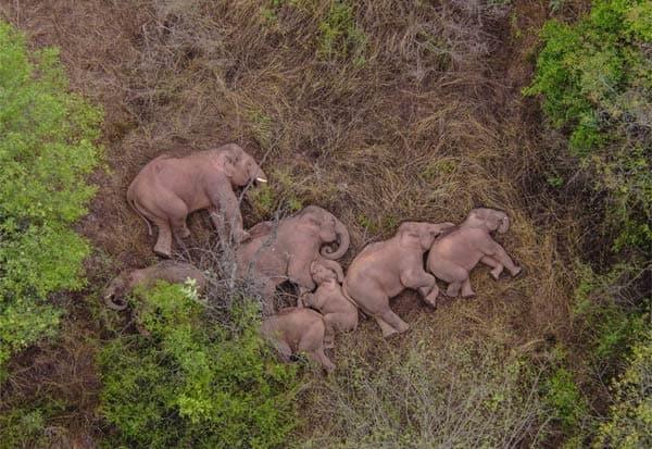 Elephants, China, Wild Elephants