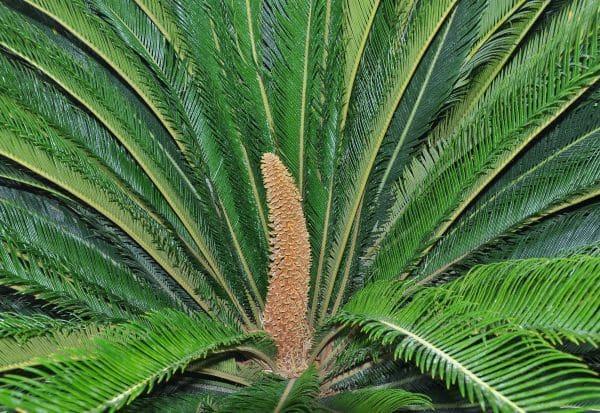 10 ஆண்டுகளுக்குப்பின் பழநியில் மலர்ந்த சைக்கிஸ் வகைப் பூக்கள்