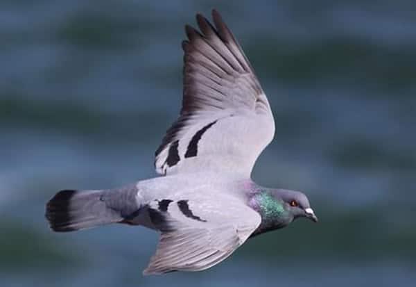 Jammu and Kashmir, pigeon, captured, Pakistan border, BSF