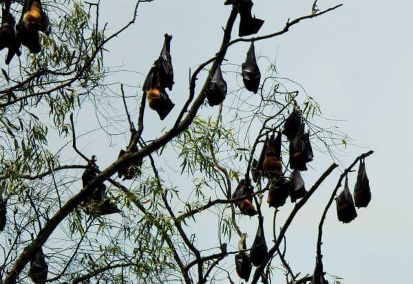 வவ்வால்கள் முகாம்:  'நிபா' பீதியில் மக்கள்