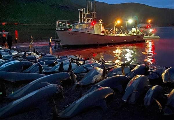 dolphins, traditional hunt, Faroe Islands, beach, Eysturoy, dolphin hunt, stain, blood,  டால்பின்கள், பரோயே தீவுக்கூட்டம், பாரம்பரியத் திருவிழா,