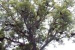 மரங்களில் அதிகரித்த தேன்கூடு சுற்றுலா பயணியர் வியப்பு