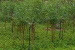 கால்நடை வளர்ப்புக்கு உதவும் அகத்தி : தெளிப்பு நீர் பாசனத்தில் அமோகம்