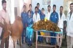 பசுவின் வயிற்றில் 52 கிலோ பிளாஸ்டிக்