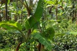 பசுந்தேயிலை விலை வீழ்ச்சி: சமாளிக்க ஊடுபயிராக வாழை