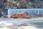 'டம் டம்' பாறையில் சிறுத்தை