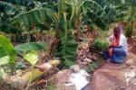 சூறாவளி: வாழை மரங்கள் சாய்ந்தன