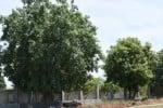 மறுநடவால் மறுவாழ்வு செழிப்படைந்த மரங்கள்