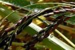 பாரம்பரிய நெல்லை பாதுகாக்கும் விவசாயி
