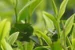 பசுந்தேயிலை விலை நிர்ணயம்: மகிழ்ச்சியில் விவசாயிகள்