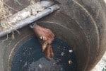 கழிவு நீர் தொட்டியில் விழுந்த மாடு மீட்பு