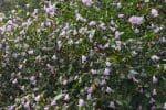 நீலகிரியில் குறிஞ்சி மலர்கள்:  சுற்றுலா பயணிகள் வியப்பு