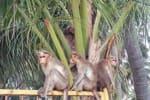 பாதிப்பு: நான்கு முனை தாக்குதலால் விவசாயிகள்... வனவிலங்குகளால் வேளாண் மகசூல் இழப்பு