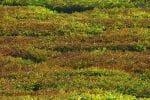 பனிப்பொழிவால் கருகும் தேயிலை விளைச்சல் குறைவால் பாதிப்பு