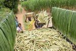 பாசன பகுதியில் கரும்பு நடவு பணி: விலை கிடைக்கும் என எதிர்பார்ப்பு