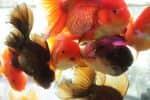 வண்ண மீன்கள் வர்த்தக மையம்...விரைவில்!:கொளத்தூரில் இடம் தேர்வு தீவிரம்