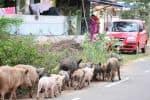 மகாலிங்கபுரத்தில் பன்றிகள் தொல்லை