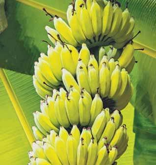 Kathali Banana Benefits