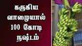 கருகிய வாழையால் 100 கோடி நஷ்டம்
