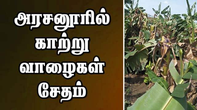 அரசனூரில் காற்று: வாழைகள் சேதம்