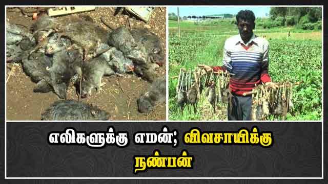 எலிகளுக்கு எமன்; விவசாயிக்கு  நண்பன் | Rat | Farmer | Ooty | Dinamalar