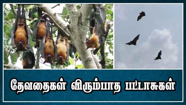தேவதைகள் விரும்பாத பட்டாசுகள் | Bat | Deepavali | Trichy | Dinamalar |